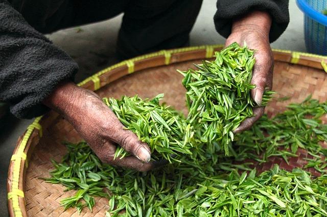 Zelený zázrak z Číny a Indie